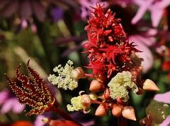 Ricinus communis (Hugo von Schreck) Tags: ricinuscommunis flower blume blte macro makro outdoor hugovonschreck tamron28300mmf3563divcpzda010 canoneos5dsr onlythebestofnature