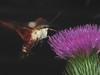 "Moth Hawk, Thistle Flower and an ""Orb"" Super Macro DSCF3626 (Ted_Roger_Karson) Tags: mothhawk thisisexcellent thistleflower thistleflowerhead testphoto fujifilmxs1 raynoxdcr150 handheldcamera northernillinois fujifilm xs1 raynox dcr150 moth hawk bee balm flower hand held camera northern illinois hummingbird clearwing spinx sphinx motion canon powershot sx280 hs slow high speed video macrolife macro macrolif black background depth field blossom plant"