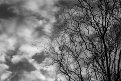 Altocumulus cloud patterns with tree limbs silhouetted (Jim Corwin's PhotoStream) Tags: atmosphere nw pacificnorthwest afternoon altocumulus altocumulusclouds atmospheric bw background balckandwhite beautiful blackandwhiteimage climate cloud clouds cloudscape fair fairweather horizontal inspirational limbs mapletree meteorology nobody outdoors pattern patterns peaceful photography silhouetted silhouettes weather whiteclouds