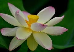 Lotus Flower in the rain-2 (Giovanni88Ant) Tags:  lotus flower nagaibg osaka rain