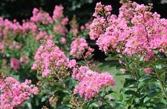 Crepe Myrtles ~ HBW! (karma (Karen)) Tags: baltimore maryland home frontyard trees crepemyrtles dof bokeh blossoms texture hbw bokehwednesdays