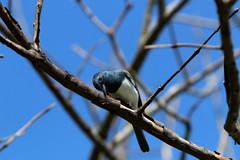 Male  Satin Flycatcher Mossman (Dan Armbrust) Tags: armbrust danarmbrust australia queensland mossman flycatcher satin cannon birds
