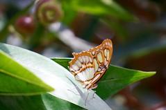 Sunbathing (fxdx) Tags: sunbathing mainau nex6 butterfly