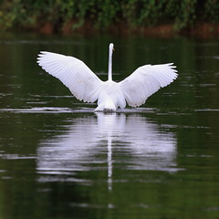 Spread my wings (luka567) Tags: great egret velika bela aplja canon eos 5d iii 100 400