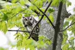 Mom's Watchful Eyes (ardvorak79) Tags: megascopsasio easternscreechowl owl