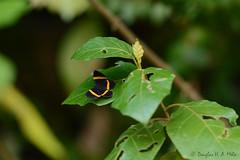 Panara soana (douglashamelo) Tags: inseto insect lepidoptera mataatlntica borboleta mariposa butterfly riodinidae