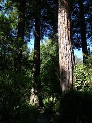 Giant Sequoia (Melinda ....) Tags: tree big sequoia botanical preserve green berkeley ucb ca botanicalgarden