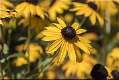 Black-eyed-susan (David Gilson) Tags: flower garden yellow nature fujifilm xseries petals blackeyedsuzan xe2s