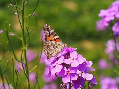 A painted lady sipping nectar on a annual honesty I. (Bienenwabe) Tags: butterfly paintedlady annualhonesty insect insekt lunariaannua lunaria brassicaceae vanessacardui vanessa nymphalidae einjhrigessilberblat silberblatt distelfalter