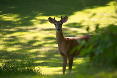 Friend (kirstenscamera) Tags: morning sunlight mountain newyork nature field grass leaves animals outside outdoors eyes nikon shadows hill young meadow peaceful doe deer serene bedbreakfast buck grazing hudsonvalley pineislandny cidermillinn