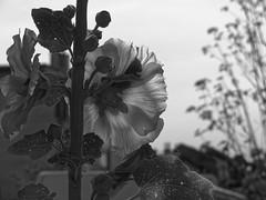 Le jupon était fripé - The petticoat was crumpled (p.franche malade - sick) Tags: schaerbeek schaarbeek bruxelles brussel brussels belgium belgique belgïe europe pfranche pascalfranche panasonic fz200 hdr dxo flickrelite skancheli monochrome noiretblanc blackandwhite zwart wit blanco negro schwarzweis μαύροκαιάσπρο inbiancoenero 白黒 黑白чернобелоеизображение svartochvitt أبيضوأسود mustavalkoinen שוואַרץאוןווייַס bestofbw rosetrémière macro contrejour nature closeup bokeh superbokek fleur flower