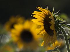 Soleil, Soleil **--- °-° (Titole) Tags: tournesol sunflower titole backlit nicolefaton bokeh yellow thechallengefactory challengeyouwinner cyunanimous