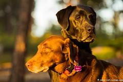 Watching over his Sister (KB RRR) Tags: colorado r rockymountains frontrange chocolatelabrador shyla blacklabrador