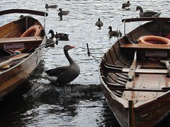 Goose guard of Derwent Water boats (andy-shot) Tags: lake geese bird lakedistrict goose keswick july2016 duck derwentwater