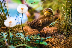 The Lonely Duckling (Rodrigo Montalvo Photography) Tags: duck wildlife wildlifephotography duckling babyduck baby cute little lonely bird birds birdphotography birdspotting nikon nikond500 d500 rodrigomontalvo connecticutphotographer nature naturephotography