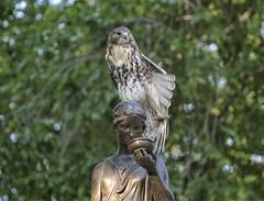 Fledgling on the Temperance fountain (Goggla) Tags: nyc new york manhattan east village tompkins square park urban wildlife bird raptor red tail hawk fledgling juvenile temperance fountain statue stretch goglog