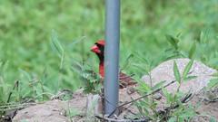 Hiding Cardinal (blazer8696) Tags: 2016 brookfield ct connecticut ecw obtusehill t2016 usa unitedstates cardinal cardinalis cardinaliscardinalis img9481 northern northerncardinal passeriformes