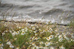 flowers and sea; can it get better? (joyceg2903) Tags: sea canon eos 350d daisy daisies bokeh
