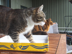 Two boys and a box - for Happy Caturday (Finn Frode (DK)) Tags: cats cardboard box watch verandah bastian mixedbreed domesticshorthair rags dusharatattersandrags somali somalicat som olympus omdem5 denmark animal pet cat outdoor happycaturday