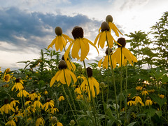 20160723-IMG_0044 (MandoCatDSM) Tags: sunflowers badger creek wildflowers sunrise