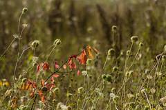 Herald of autumn (Andrew B47) Tags: brabant netherlands nuenen roosdoncken autumn leaves poppyheads