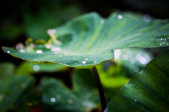 Diamond drops (Karthikeyan.chinna) Tags: karthikeyan chinnathamby chinna canon canon5d green rain drops water leaf macro closeup travel nature estate bokeh india karnataka kuderamukha peak trek monsoon western westernghats