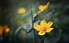 Caltha Palustris (Anne Worner) Tags: bekkeblom calthapalustris marshmarigold kingcup ranunculaceae yellow bloom blossom flowering lensbaby sweet35 bend blur bendy anneworner