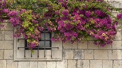 Bougainvillea, typical flowers in Dalmatia, which really fits the architecture of the old town (Cini S) Tags: cavtat croatia dalmacijadalmatia hrvatska oldtown oldcity bougainvillea
