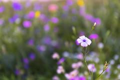 Violet (Enrico Cusinatti) Tags: canoneos6d enricocusinatti fiore fiori nature