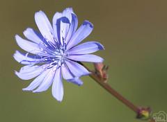 Achicoria (Elías Gomis) Tags: cichorium intybus flor flower achicoria getxo bizcaia eliasgomis ngc