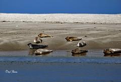 les phoques -seals  - 4 (png nexus) Tags: nature animaux phoque seal plage beach bleu blue