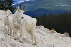 Take Your Coat Off, Stay Awhile (cowgirlrightup) Tags: dadsbirthday cowgirlrightup rockymountains mountaingoats alberta