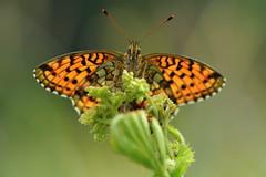 D71_2488A (vkalivoda) Tags: motl butterfly schmetterling insect macro depthoffield bokeh serene makro perleovec perleoveckopivov brenthisino perloveckrvavcov lessermarbledfritillary mdessperlmutterfalter luhatpik perladaeuropea engperlemorsommerfugl maedesuessperlmutterfalter laurelmenor nacrdelasanguisorbe konarinarenac gelsvasisperlinukas rtigyngyhz purperstreepparelmoervlinder engperlemorvinge dostojkaino inovasedefica angervohopeatpl lggrsprlemorfjril kkbrentis