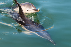 Mother and Calf (Maskedmarble) Tags: devon brixham harbour calf dolphin