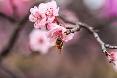 Bee (tonyg1494) Tags: photography sukura sydney micro flowers bee cherryblossom