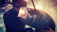 #spearing #epsealon #Spearfishing #LeRequin #chassesousmarine #pesca #pescasub #seabass #oneshot (lerequin_review) Tags: oneshot spearfishing spearing pesca epsealon chassesousmarine lerequin pescasub seabass