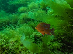 PA070529.jpg (Michael Bartosek) Tags: olympusepl3 catalinaisland olympus1442mm underwater catalina diving california pacificocean