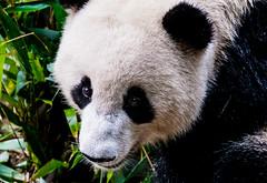 Hungry Panda Bear (Rutger Smulders Photography) Tags: panda bear china chengdu farm pandafarm hungry photo eating bamboo city young little baby