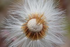 IMG_5679 (sany..photography) Tags: macro makro lwenzahn pusteblume blume flower canon makroaufnahme natur nature shot photo foto wiese sommer