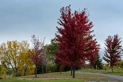 L-2016-10-16-DSC_3455 (lebelgerard) Tags: automne saison laval canada ca qubec arbre
