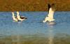 Avocet Yoga (Close Encounters of the BIRD Kind) Tags: american avocet yoga iowa city terry trueblood fall