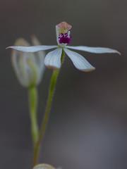 IMG_0867 (japhotographics2) Tags: wttaboy japhotographics japhotgraphics bush orchids au australia aust australian native ne north east vic victoria macro