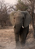Walking my way... (Michelle Tuttle) Tags: elephant nature beauty beautiful tusks wild wildlife dust walking striding powerful delicate southafrica africa endangered vulnerable