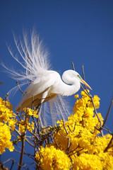 Serie com a Garca-branca-grande, no topo do Ipe-Amarelo - Series with the Great Egret (Casmerodius albus, sin. Ardea alba) at the top of the Trumpet tree, Golden Trumpet Tree (Tabebuia [chrysotricha or ochracea]) - 02-09-2015 - IMG_8475 (Flvio Cruvinel Brando) Tags: srie garabrancagrande casmerodiusalbus ardeaalba series greategret ave aves bird birds pssaro pssaros passarinho braslia brasil brazil natureza naturaleza nature cor cores animal animals animais flviobrando planta plantas plant plants color colorida coloridas amarela rvore rvores tree trees arbl trumpettree goldentrumpettree paudarco tabebuia flor flower flores flowers sries amarelo ip ipamarelo tabebuiachrysantha yellow flvio brando araguaney aoarlivre folhagem