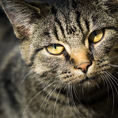 Meet Our New Neighbour... (Sylvie.) Tags: cat sylviepeeters sony sonyilce6000 fe90mmf28macrogoss f28 90mm sonyfe90mmf28 mechelen