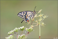 Stay (Faraway, So Close) (Luciano Silei - sky7) Tags: papiliomachaon macaone oldworldswallowtail swallowtail lucianosilei canon7d sigma150macro