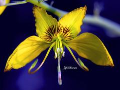 Strange Flower (haidarism (Ahmed Alhaidari)) Tags: yellow flower bud plant bokeh outdoor nature depthoffield sonya65 macro macrophotography ngc