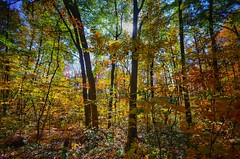 Bright Forest (mswan777) Tags: leaf color autumn fall season tall bright sun warm scenic peaceful nikon d5100 sigma 1020mm nature beautiful orange yellow red