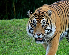 Majestic Tiger (Lee J2) Tags: sumatra tiger endangered majestic pantheratigrissumatrae nationalgeographicwildlife zoomiami