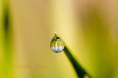 Reflejo (Mariano Sanz) Tags: macro luz agua reflejo gota cesped enfoque